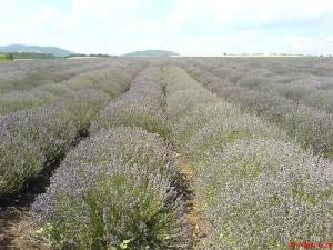 pure bulgarian lavender oil