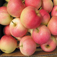 apple fuji gala