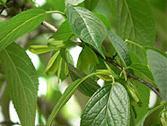 plant extract eucommia bark p e chlorogenic acid