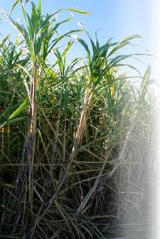 biofertilizer sugarcane gluconacetobacter diazotrophicus organic fertilizer
