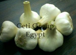 egyptian garlic