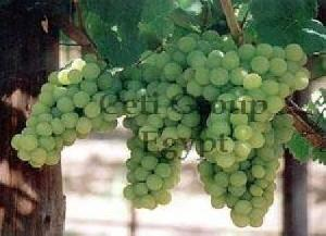 egyptian table grapes
