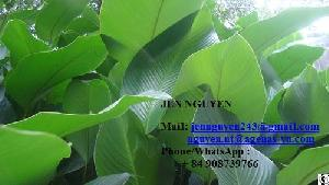 Dong Leaf From Vietnam With High Quality