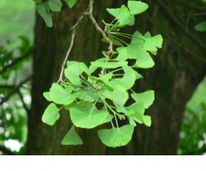 ginkgo biloba extract flavone glycosides terpene lactone
