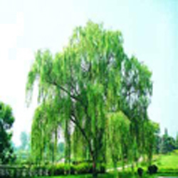 willow bark extract