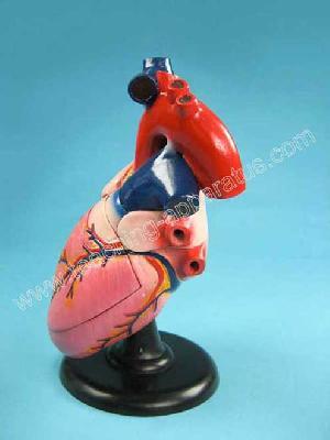 human heart structure b1019