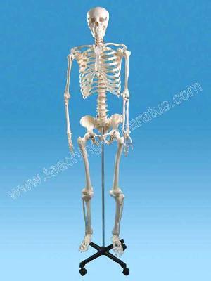 human skeleton 170 cm b1105