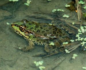 alive frog