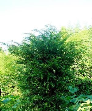 Camptotheca Acuminata - the Cancer tree