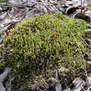 plagiomnium cuspidatum p e