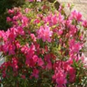 rhododendron dauricum p e