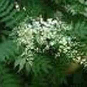 sorbaria sorbifolia p e