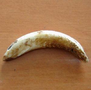 tibetan horse tooth amulet