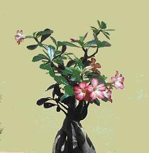 adenium plant