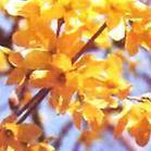 forsythia fructus extract