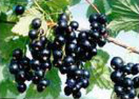 currants extract