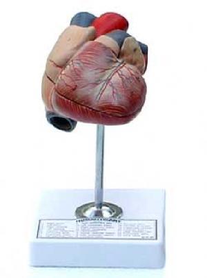 anatomical zoological models