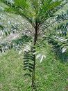 eurycoma longifolia jack extract