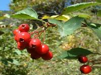 hawthorn leaves berry extract