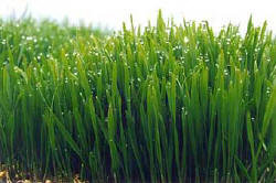 wheat grass extract