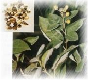 chaste tree extract powder