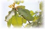 magnolia cortex extract powder
