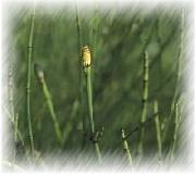 plant equistum arvense l