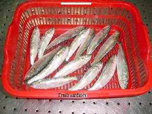 sardine sardinella longiceps