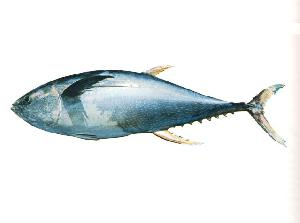 yellowfin tuna skipjack tail