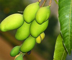 irvingia gabonensis seed extract