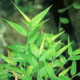 lophatherum herb p e