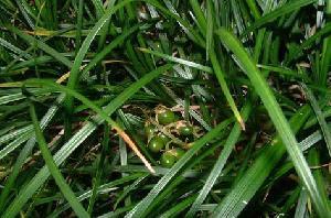 ophiopogon thunb p e