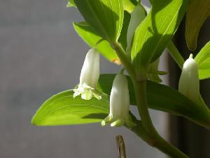 polygonatum odoratum p e