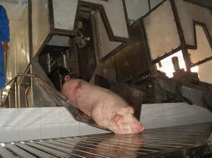 pig abattoir slaughter line