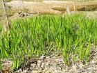 acorus calamus extract plant herb medicine saponin pigment