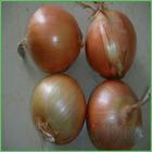 allium cepa extract plant herb medicine saponin pigment