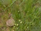 asparagus dauricus extract plant herb pigment saponin fucoxanthin addit