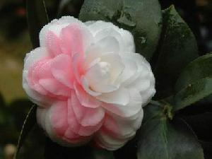 Sell Camellia Saponin Pharmaceutical Chemicals, Saponin, Plant Extract, Herb Extract, Pigment, Beet