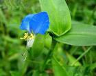commelina commilnis extract plant herb medicine saponin pigment