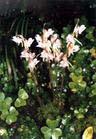 3epipogum aphyllum extract plant herb medicine saponin pigment