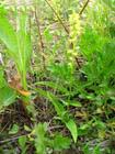 herminium monorchis extract plant herb medicine saponin pigment