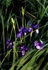 iris sanguinea extract plant herb medicine saponin pigment