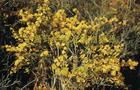 Sell Limonium Aureum Extract Hplc Plant Extract, Herb Medicine, Herb Extract, Saponin, Pigment