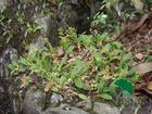 liparis japonica extract plant herb medicine saponin pigment