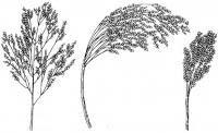 panicum miliaceum extract plant herb medicine saponin pigment