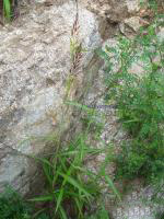 spodiopogon sibiricus extract plant herb medicine saponin pigment