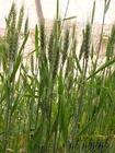 tyiticum aestivum extract plant herb medicine saponin pigment