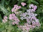 achillea millefolium extract