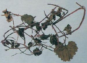 glechoma longituba extract plant fucoxanthin saponin pigment