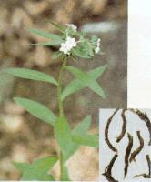 lithospermum erythrorhizon extract plant herb saponin pigment